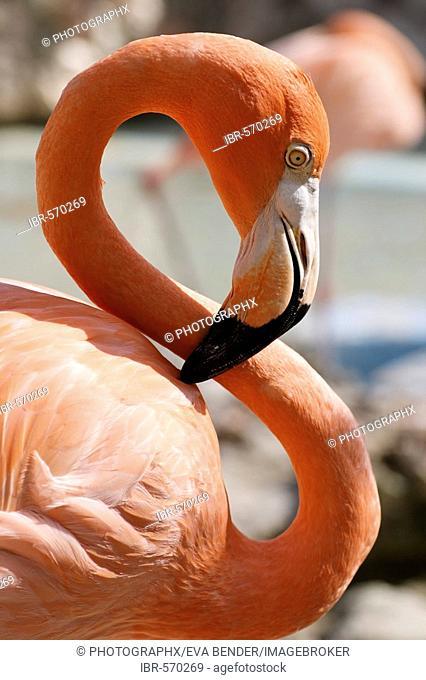 Caribbean Flamingo (Phoenicopterus ruber ruber), Curacao, the Netherlands Antilles, Caribbean