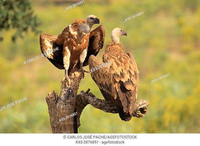 Griffon vulture (Gyps fulvus). Parque Nacional de Monfrague, Extremadura, Spain