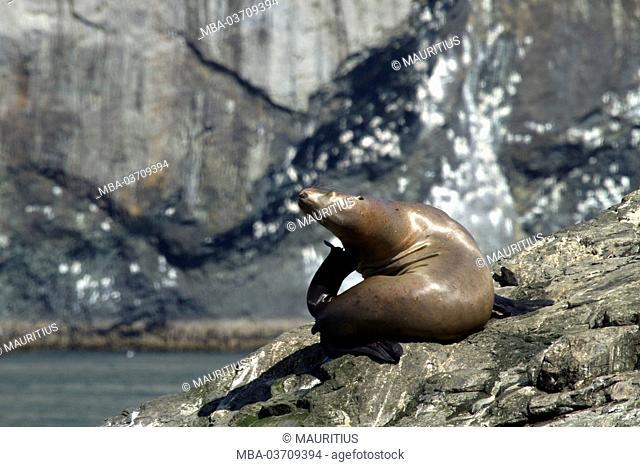 North America, USA, Alaska, Seward, Kenai Fjords National Park, Resurrection Bay, Steller sea lion on rock in the sun