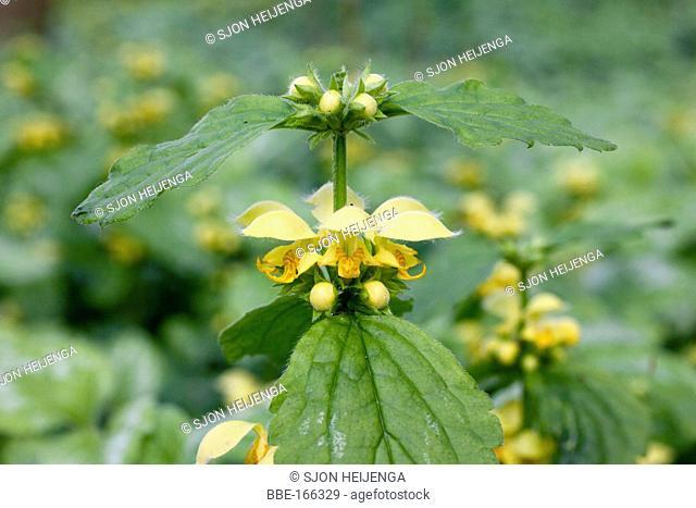 Yellow Archangel (Lamiastrum galeobdolon) in a forest edge at Epse (Gelderland)