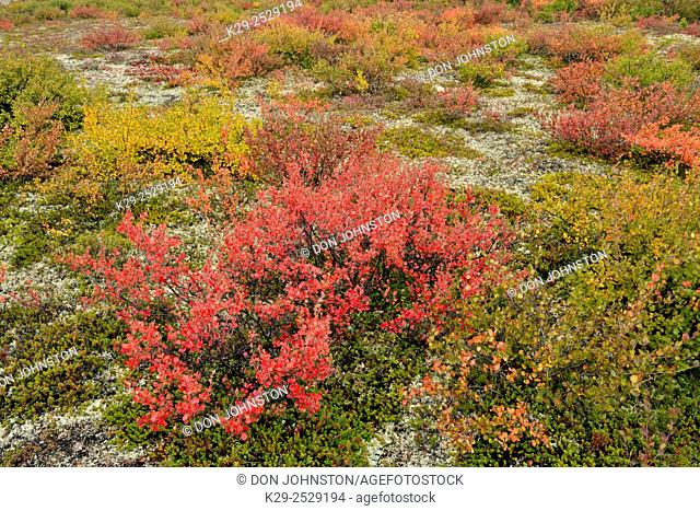 Tundra shrubs with autumn colour along the shore of Ennadai Lake, Arctic Haven Lodge, Ennadai Lake, Nunavut, Canada