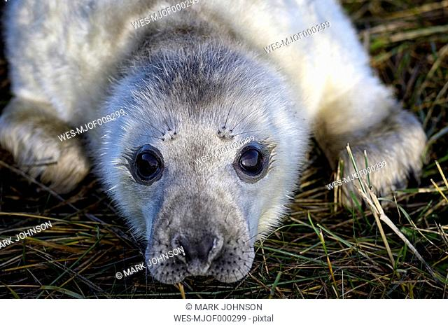 Grey seal, Halichoerus grypus, Portrait, Young animal, lying on meadow