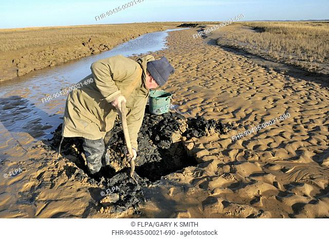 Sea angler bait digging for worms, on coastal mudflats in saltmarsh at low tide, North Norfolk, England, march
