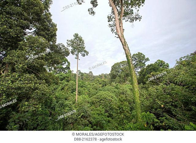 Asia,Malaysia,Borneo,Sabah,Sandakan,Sepilok forest, primary forest,canopy