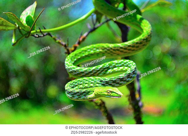 Green Vine Snake, Ahaetulla nasuta, Dudhsagar, Goa, India