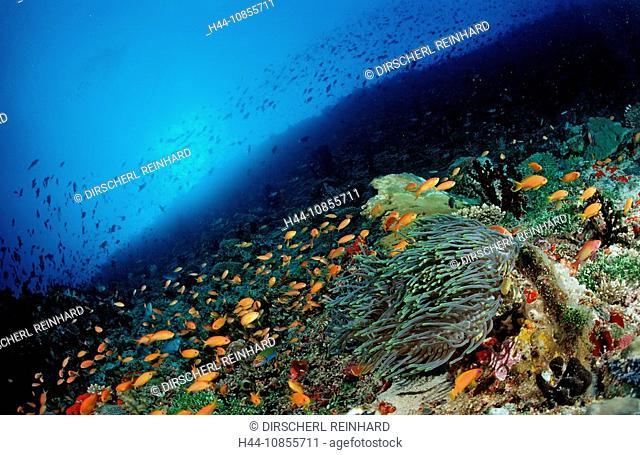 10855711, Maldives, Indian Ocean, Meemu Atoll, Ant