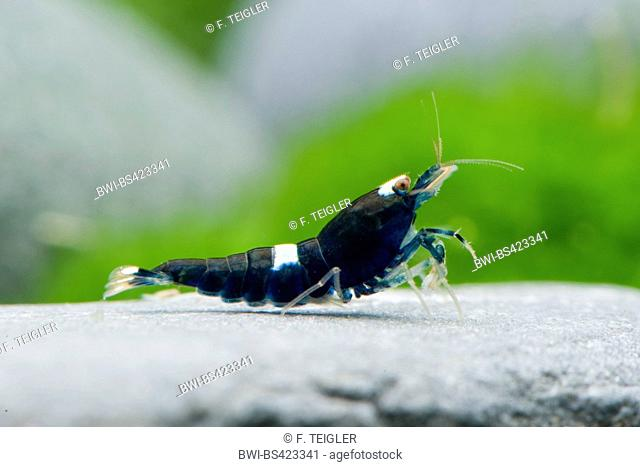 Bee Shrimp (Caridina cf. cantonensis Black Shadow), on a stone