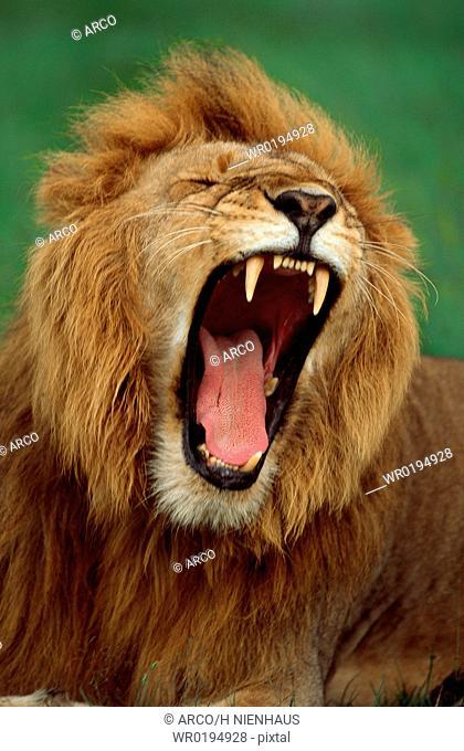 African, Lion, male, yawning, Massai, Mara, Game, Reserve, Kenya, Panthera, leo