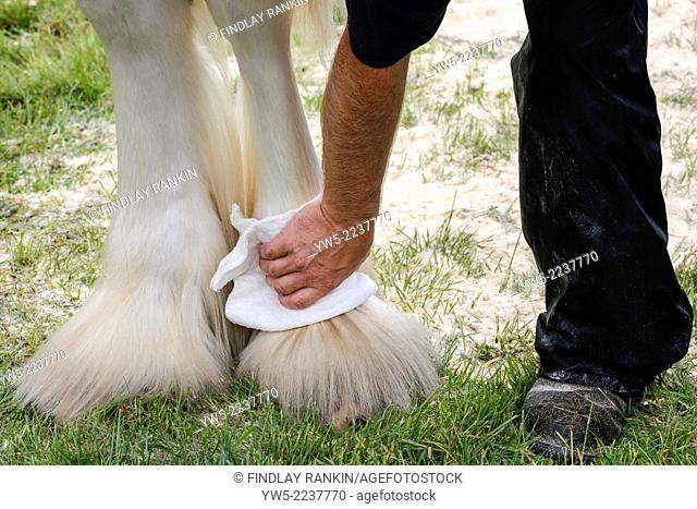 Owner cleaning and powdering the hooves of a Clydesdale horse in preparation for a competative show. Glasgow Scotland, UK