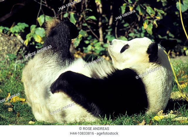 Giant Panda, Ailuropoda melanoleuca, animal, animals, bear