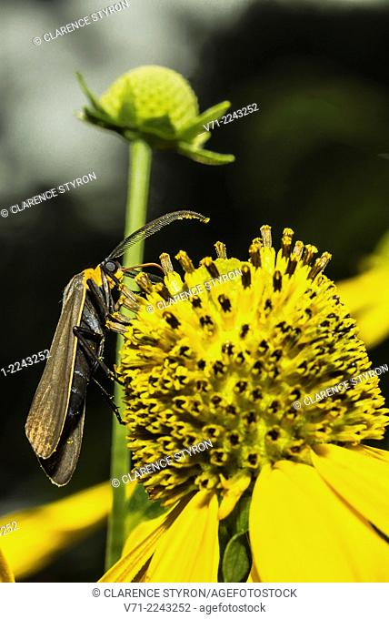 Virginia Ctenucha Moth (Ctenucha virginica) Feeding on Cutleaf Daisy (Engelmannia peristenia) Flower