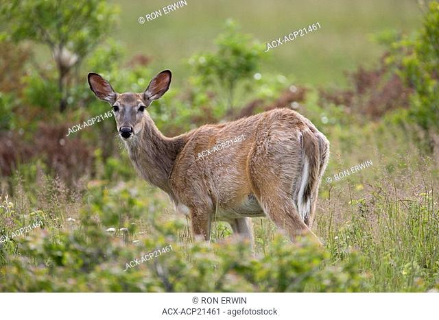 Female White-tail Deer Odocoileus virginianus, Barrie Island, Manitoulin Island, Ontario, Canada