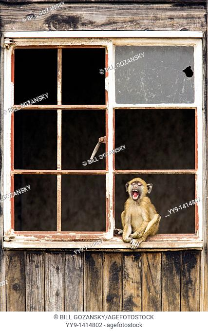 Olive Baboon sitting in window of abandoned house yawning - Amboseli National Park, Kenya