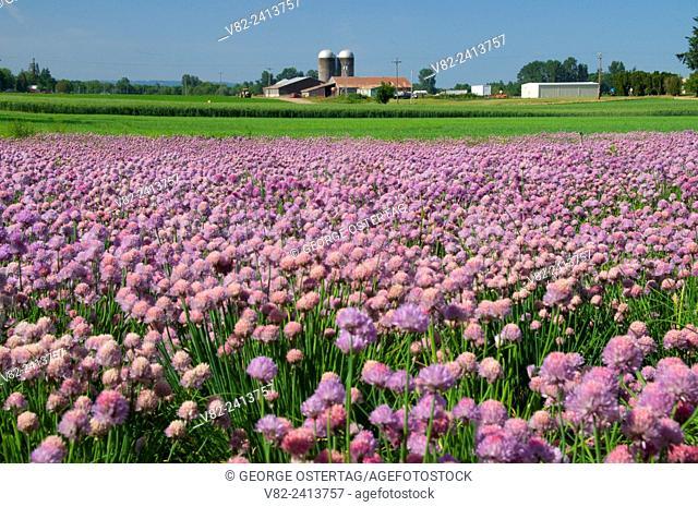 Onion field in bloom, Marion County, Oregon