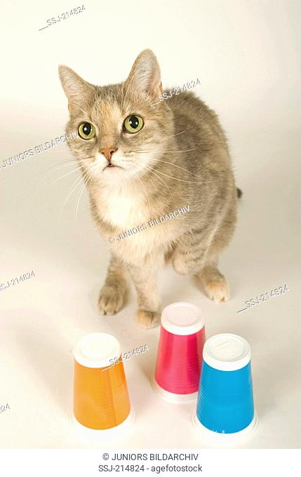 Domestic cat. Tabby adult with plastic cups of different color. One of them contains food, a sort of intelligence test. Germany