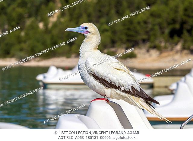 This white phase adult Red-footed Booby lingered for almost 2 weeks in Lac de Sainte-Croix, France., Red-footed Booby, Sula sula