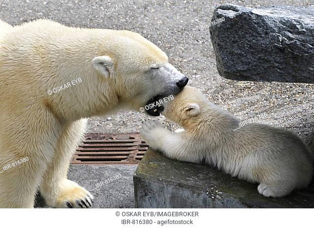 Polar bear cub Wilbaer and mother Corinna during their first public appearance, Wilhelma Zoo in Stuttgart, Baden-Wuerttemberg, Germany, Europe