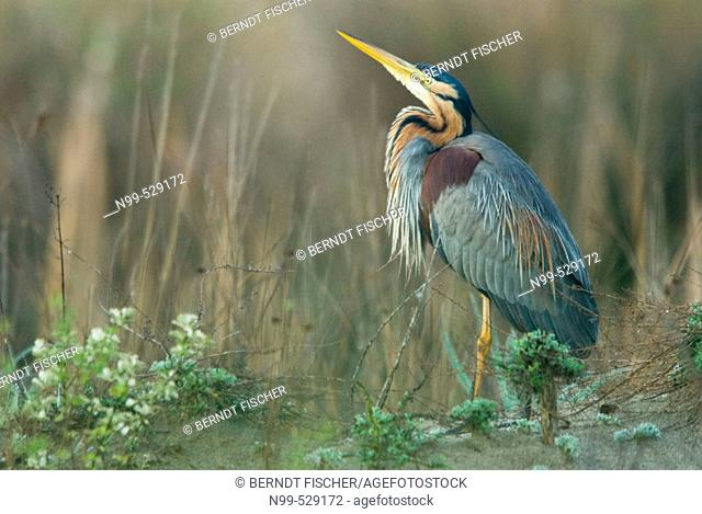 Purple Heron (Ardea purpurea), marshland, flood-plain forest, near river Bojana, Montenegro (Crna Gora), river Buna, Albania (Bojana/Buna river forming the...