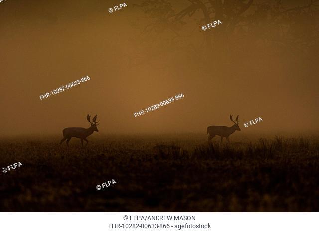 Fallow Deer (Dama dama) two bucks, walking in mist at dawn, Bradgate Park, Leicestershire, England, October