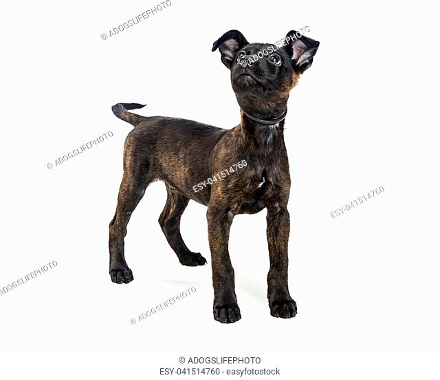 Cute black terrier mixed breed dog on white looking up