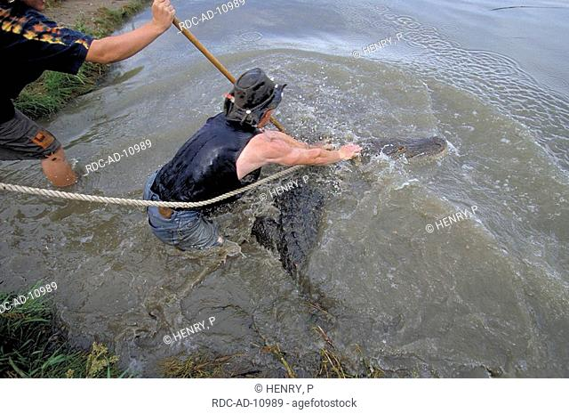 Man catching American Alligator alligator farm Mosca Colorado USA Alligator mississippiensis