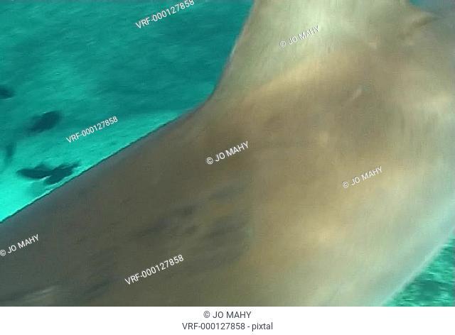 nurse shark clips. Bahamas, Atlantic Ocean