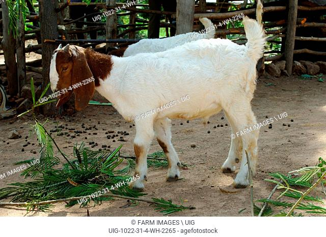 Boer goat kid, a breed used for meat, Uganda Africa. (Photo by: Wayne Hutchinson/Farm Images/UIG)