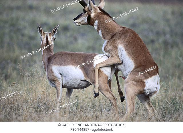 Adult male Pronghorn trying to mate with female. Antilocapra americana. National Bison Range. Ronan. Montana. USA