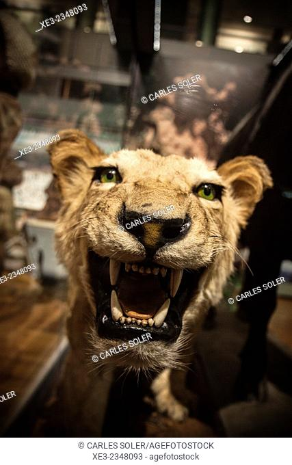 Stuffed lion on display. Museo de Ciencias Naturales, Madrid, Spain