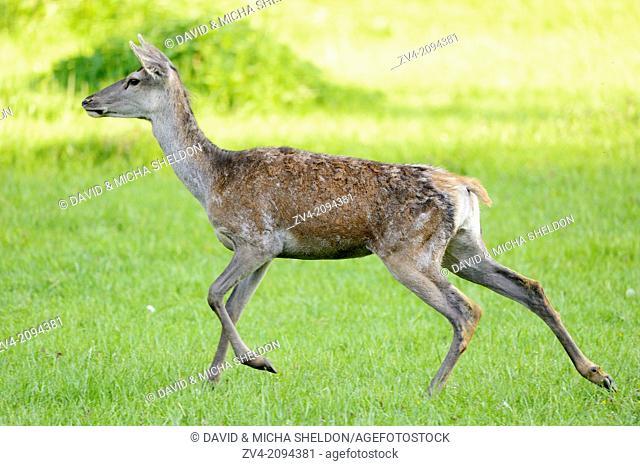 Red deer (Cervus elaphus) female running on a meadow