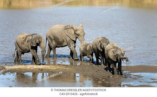 African Elephant (Loxodonta africana) - Breeding herd drinking and mud-bathing at the Shingwedzi River. Kruger National Park, South Africa