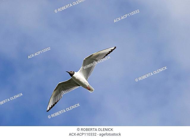Bonaparte's gull (Chroicocephalus philadelphia), adult in breeding plumage, in flight, Cariboo Region, British Columbia, Canada