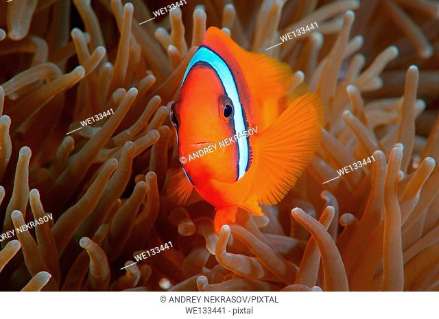 Red Anemonefish or Australian clownfish (Amphiprion rubrocinctus) Bohol Sea, Cebu, Philippines, Southeast Asia