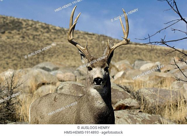 United states, Wyoming and Montana States, Yellowstone National Park, listed as World Heritage by UNESCO, Mule Deer (Odocoileus hemionus), Male, Portrait