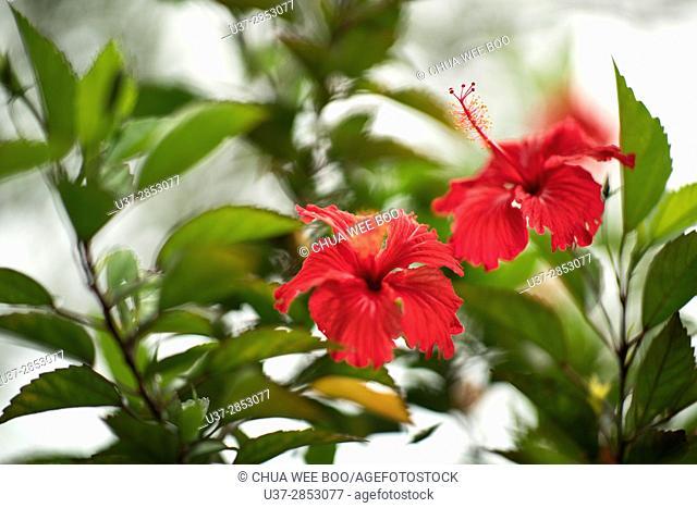 Red hibiscus, MBKS garden, Kuching, Sarawak, Malaysia
