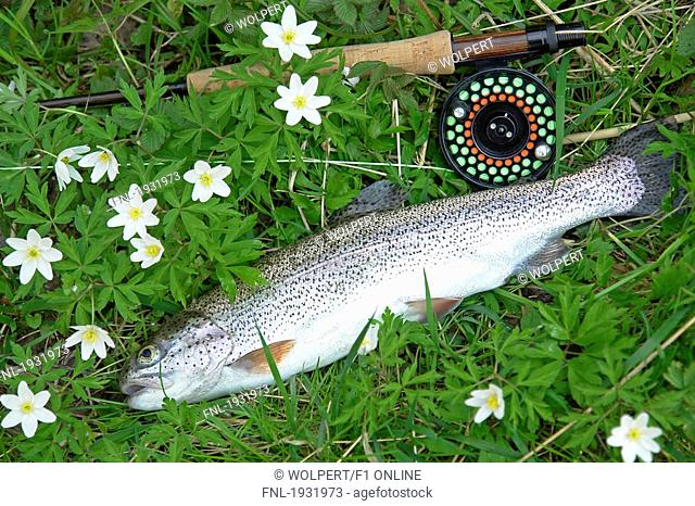 High angle view of dead Rainbow trout and fishing rod