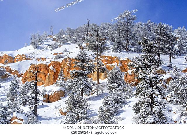 Fresh snow on the hoodoos and pines, Bryce Canyon National Park, Utah, USA