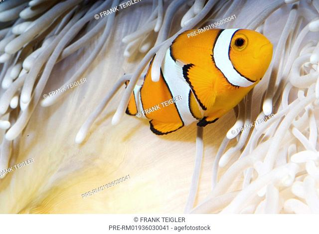 Ocellaris Clownfish at sebae anemone, Amphiprion ocellaris, Heteractis crispa / Falscher Clownfisch an Lederanemone, Amphiprion ocellaris, Heteractis crispa
