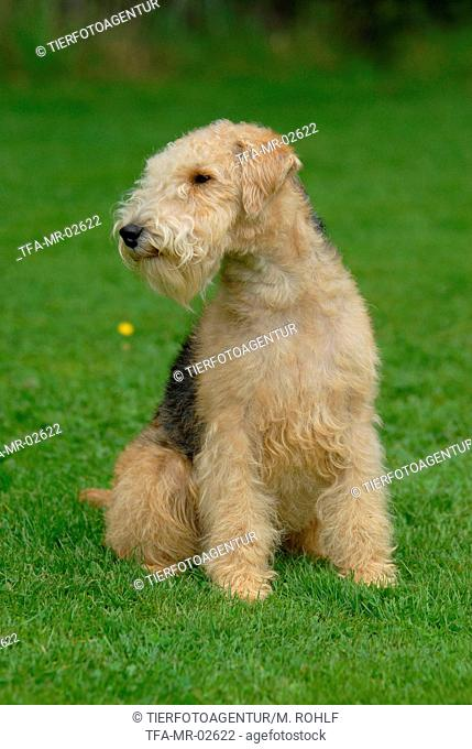Lakeland Terrier on meadow
