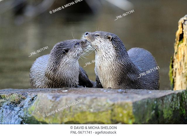 Two European otters Lutra lutra by the water