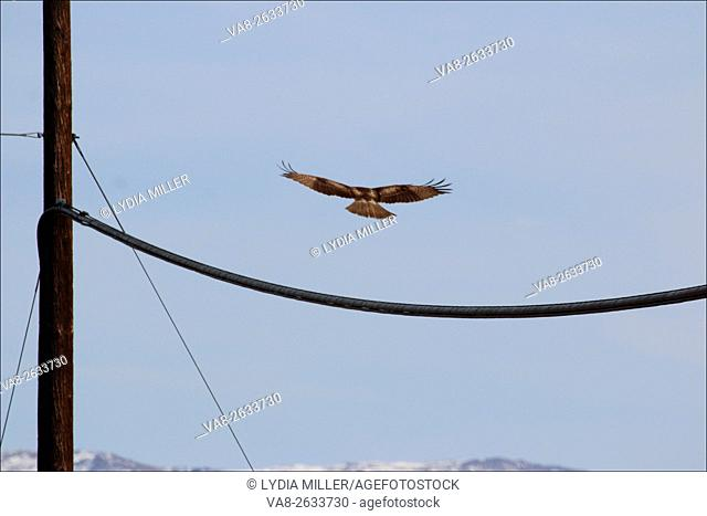 A bird of prey, either an eagle or a hawk, flies in the Carson Valley, in Genoa, Nevada, USA
