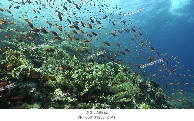 Scenic coral. Red Sea