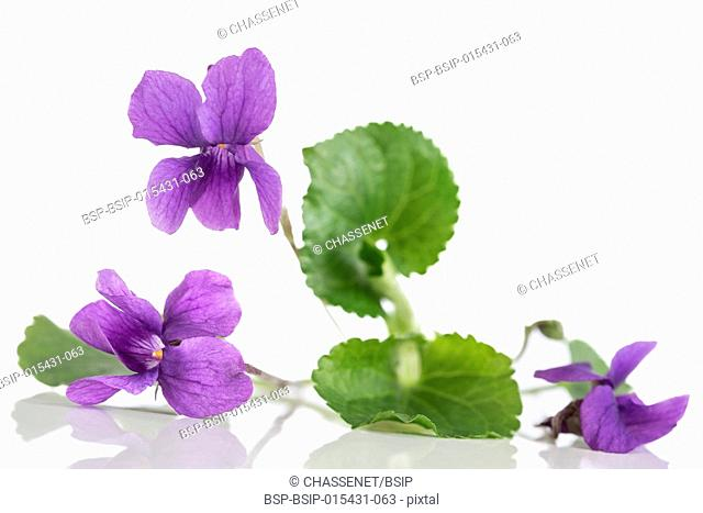 Violet flower, detailIt is also known as Sweet or English Violet
