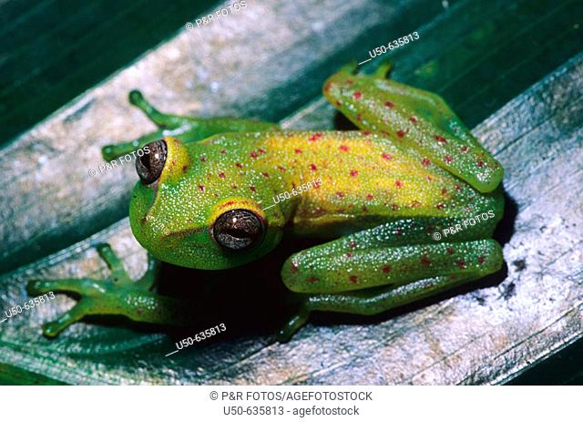 At night the dorsum is reddish tan and the flanks and limbs are green. By day, the dorsum is pale green with dark red flecks and a creamy yellow dorsolateral...