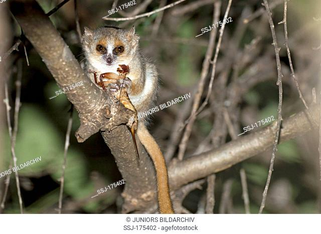 Gray-brown Mouse Lemur (Microcebus griseorufus) eating an insect. Berenty Private Reserve, Madagascar