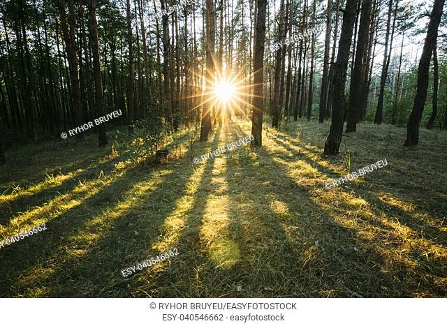 Sun Shining Through Forest Trees Woods. Sunset Sunrise In Summer Forest Landscape