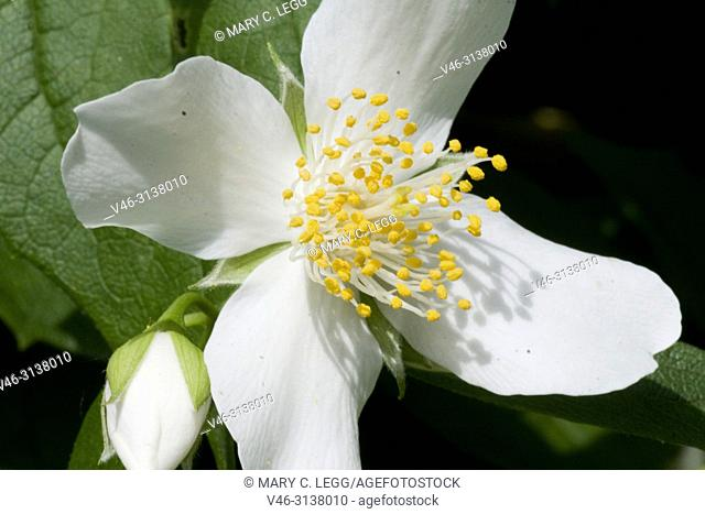 Scentless Mock Orange, Philadelphus inodorus. Plant is named after Greek king of Egypt, Ptolemy II Philadelphus and was introduced to Hapsburg Vienna court in...