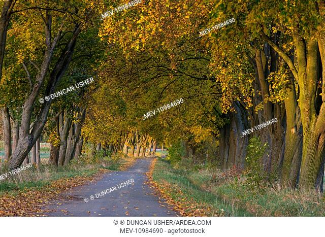 Norway Maple Allee Trees - in autumn colour alongside narrow road - Beberbeck Estate Hessen, Germany (Acer platanoides)