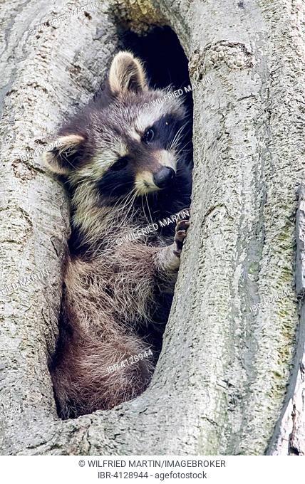 Young raccoon (Procyon lotor) looking out of a tree hollow, Hesse, Germany