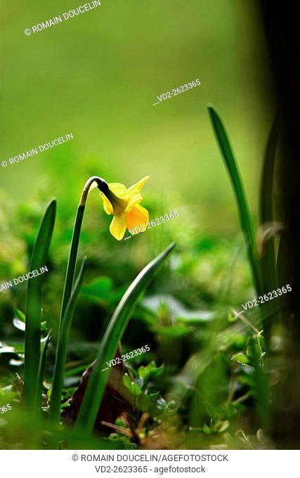 daffodil in a field on a winter morning in Rhone-Alpes region